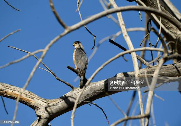 An American Kestrel hunts from a dead cottonwood tree near Standley Lake on January 17 2018 in Westminster Colorado North Americas littlest falcon...