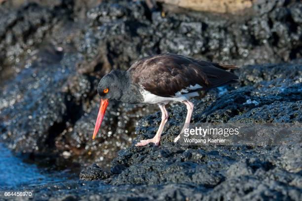 An American Oystercatcher on the rocks near Puerto Egas Santiago Island in the Galapagos Islands Ecuador