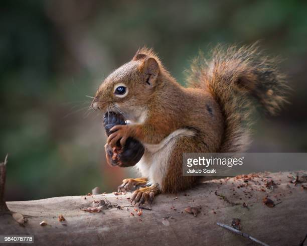 an american red squirrel eating in a tree in canada. - american red squirrel stock photos and pictures