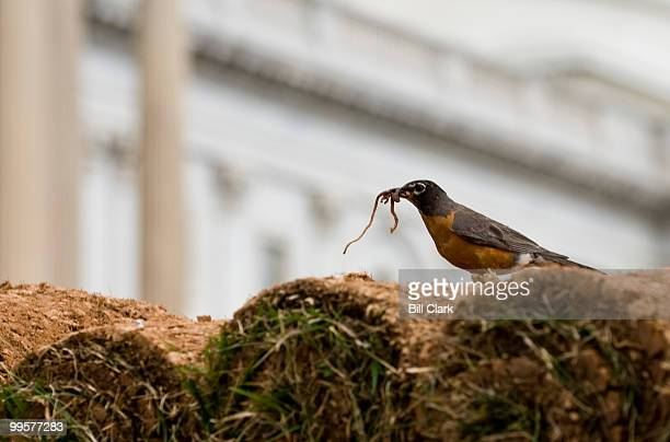 An American Robin gorges itself on worms pulled from fresh sod on the back of a truck trailer bound for the grassy area on the East Front of the...