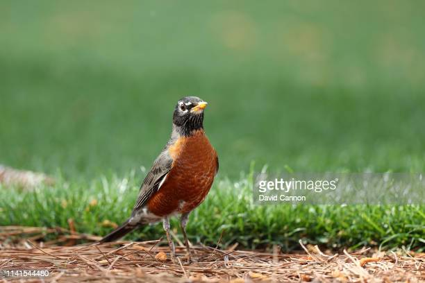 An American robin looks on during a practice round prior to the Masters at Augusta National Golf Club on April 09 2019 in Augusta Georgia