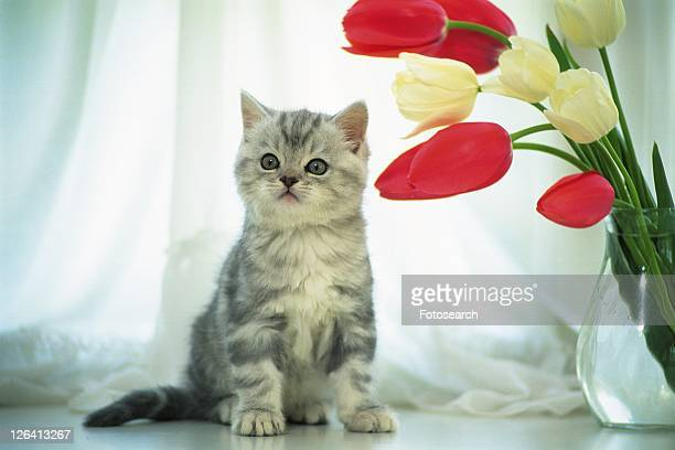 An American Shorthair Cat Standing on a Table, Next to White and Red Tulips, Looking Sideways, Front View, Differential Focus