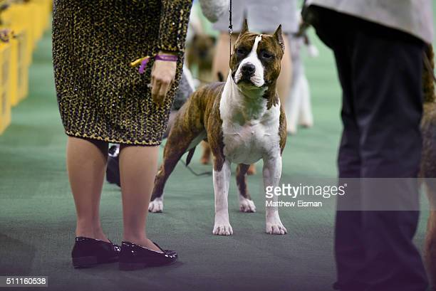 An American Staffordshire Terrier competes in the Terrier Group during the second day of competition at the 140th Annual Westminster Kennel Club Dog...