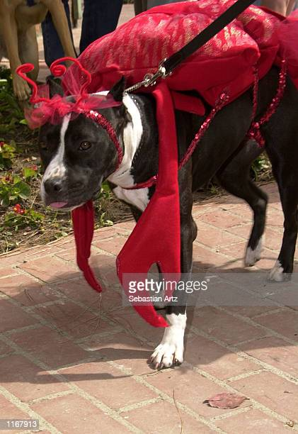An American Staffordshire Terrier in lobster costume marches in the Pet Parade at the Port Of Los Angeles Lobster Festival October 05, 2001 in San...