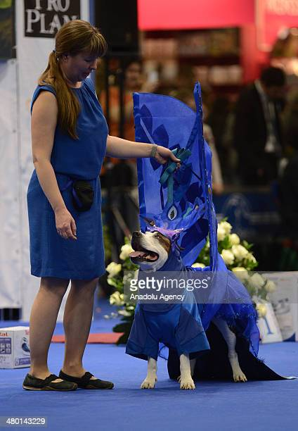 An American Staffordshire terrier is controlled before the competition in Eurasia Dog Show 2014 in Crokus Expo Center in Moscow, Russia on March 23,...