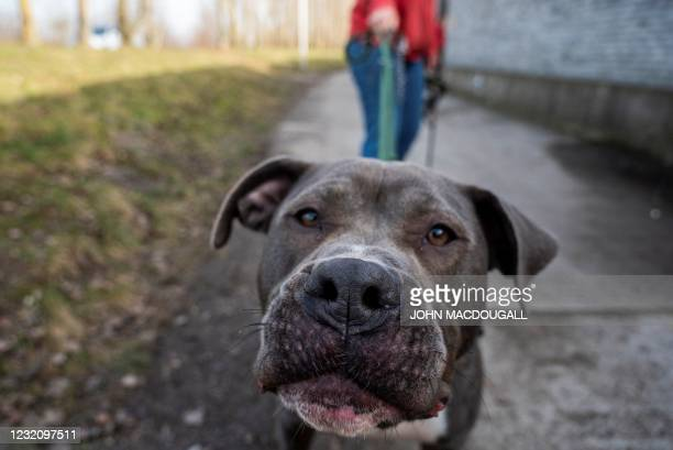 An American Staffordshire Terrier Mix called Marti, illegally imported into Germany, is taken for a walk on the grounds of the Tierheim Berlin animal...