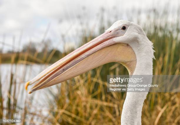 An American White Pelican as it's being released in Irvine California on Thursday January 25 2018 The bird was captured November 2017 with a severely...