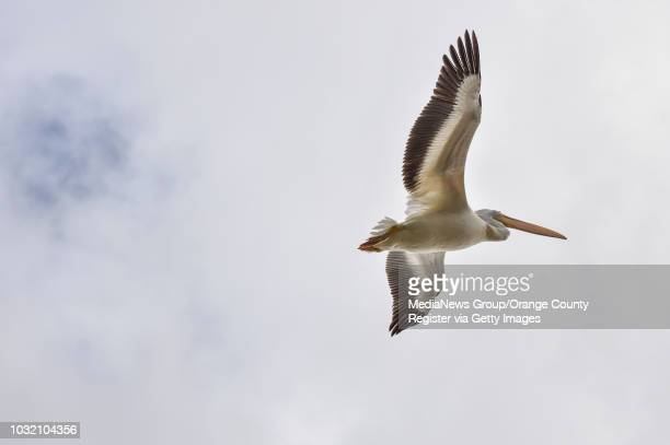 An American White Pelican circles Pond 1 at the San Joaquin Wildlife Sanctuary after being released in Irvine California on Thursday January 25 2018...