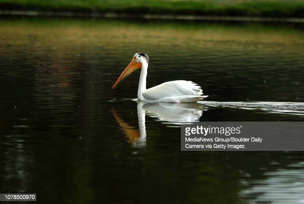 An American White Pelican fishes at Community Park Pond on Wednesday June 27 2007 Photo David R Jennings