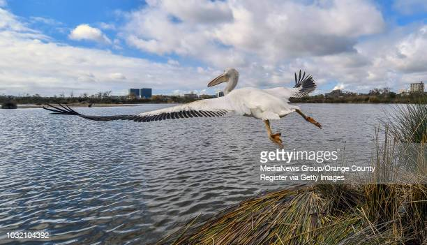 An American White Pelican flies away after being let out of a cage as it's being released in Irvine California on Thursday January 25 2018 The bird...