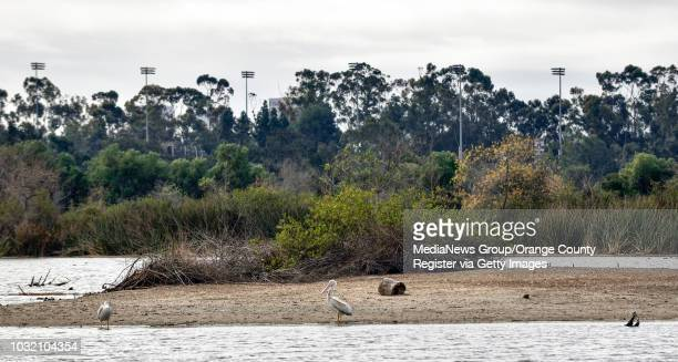 An American White Pelican stands on an island in Pond 1 at the San Joaquin Wildlife Sanctuary after being released in Irvine California on Thursday...