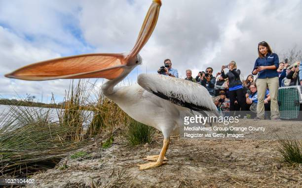 An American White Pelican stretches its legs and it beak after being let out of a cage as it's being released in Irvine California on Thursday...