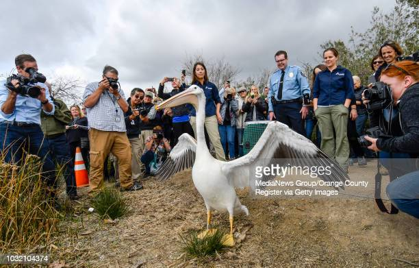 An American White Pelican stretches its legs and it wings after being let out of a cage as it's being released in Irvine California on Thursday...