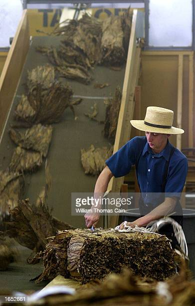An Amish man cuts open a bail of nicotine free tobacco to place onto a conveyor belt to be bundled at Trileaf Tobacco November 20 2002 in New Holland...