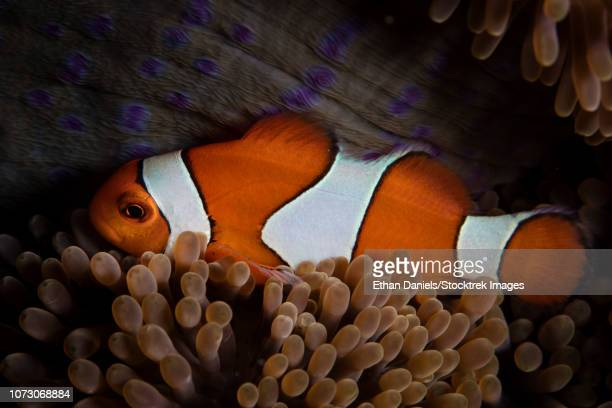 an amphiprion ocellaris clownfish snuggles into the tentacles of its host anemone. - linguado da areia imagens e fotografias de stock