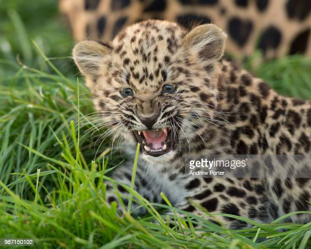 An amur leopard cub.