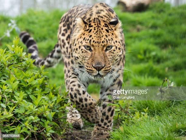 An Amur leopard on the prowl.