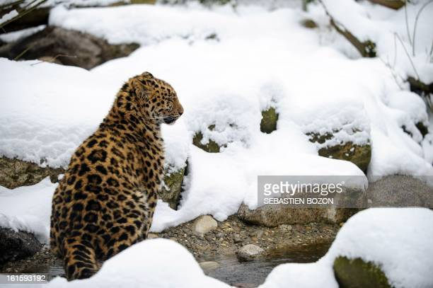An Amur leopard sits in the snow at Mulhouse zoo on February 12 2013 The Amur leopard is considered to be the most endangered feline in the world AFP...