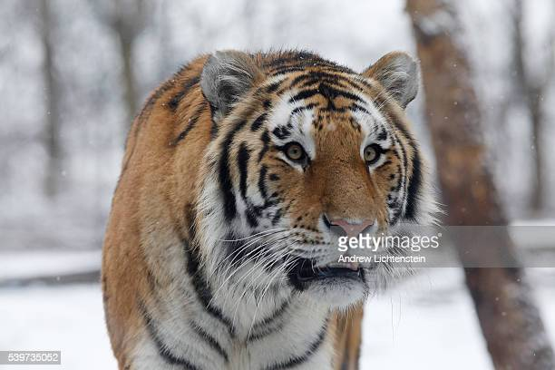 An Amur or Siberian male tiger is used to the snow The tigers are carefully breed with other zoos across the world to keep the gene pool as diverse...