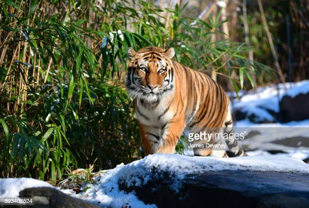 An Amur tiger at the Bronx Zoo on December 14 2017 in New York City