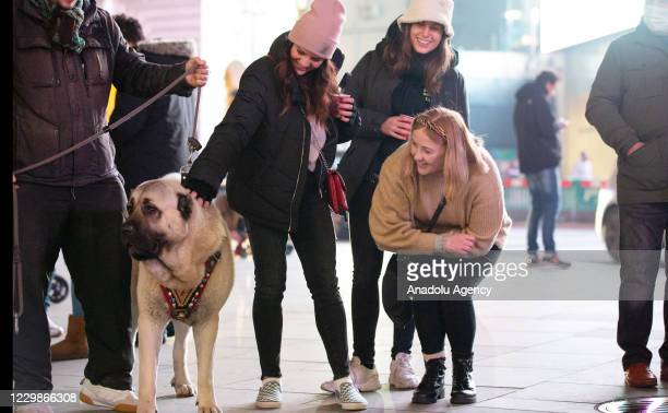 An Anatolian shepherd dog, brought by the owner from Turkey, is seen being taken for a walk at the streets of London, on November 29, 2020 in London,...