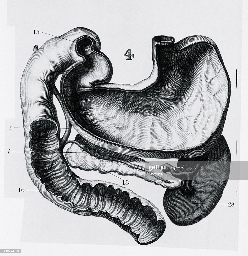 Stomach, Spleen, and Pancreas : News Photo