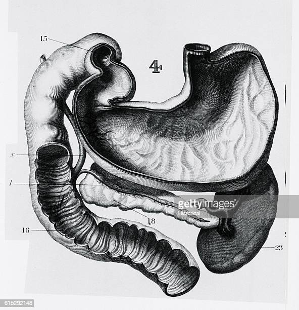 An anatomic diagram depicts part of a human digestive tract the stomach spleen pancreas and large intestine
