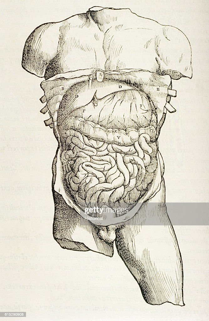 An Anatomical Diagram Depicting A Cutaway Of The Torso Of A Human