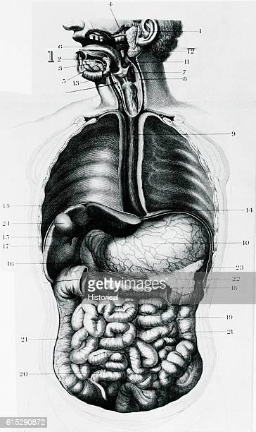 An anatomical diagram depicts the digestive tract of the human body