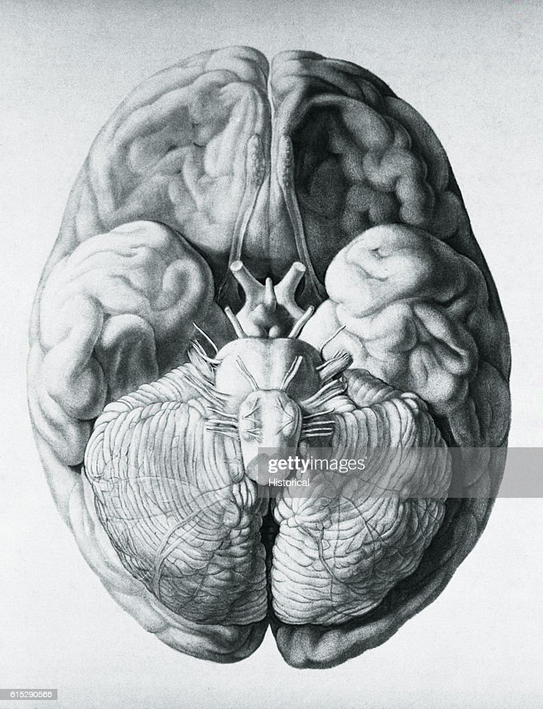An Anatomical Diagram Illustrating The Base Of The Brain From The