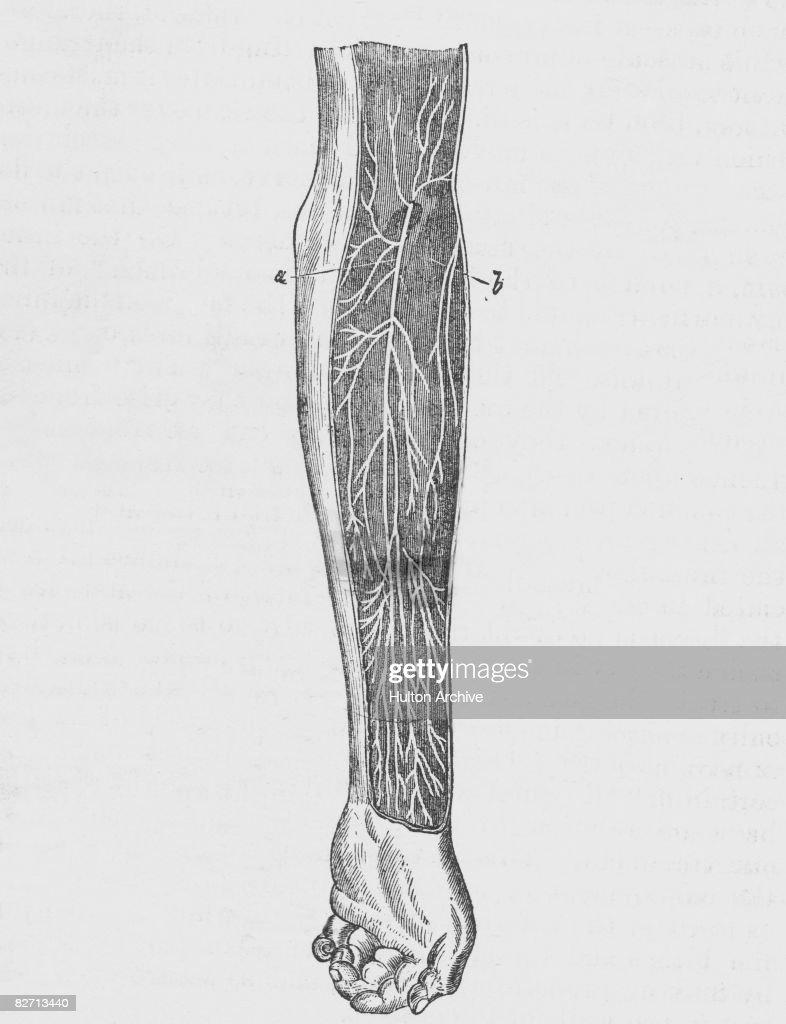An Anatomical Diagram Of A Human Arm Cut Away To Show The News
