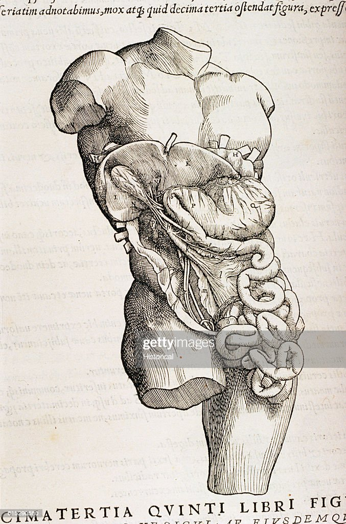 16th Century Illustration Of Anatomy Of Abdomen Pictures Getty Images