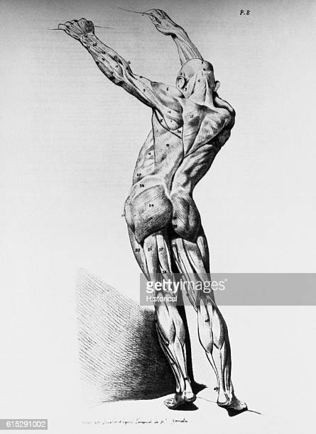 An anatomical diagram of a man from the rear illustrating the muscles in the back of the human body