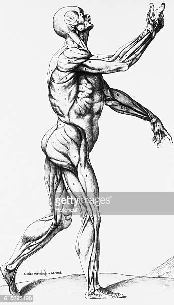 An anatomical diagram of a person standing in left profile defines the musculature of the human body Illustrated in Thomas Geminus' compendiosa...