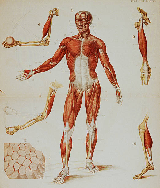 Anatomical Muscular Diagram Pictures   Getty Images