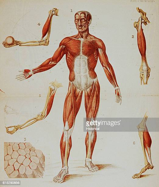 An anatomical diagram of a person with flayed skin and smaller diagrams of specific muscles illustrate the musculature of the human body