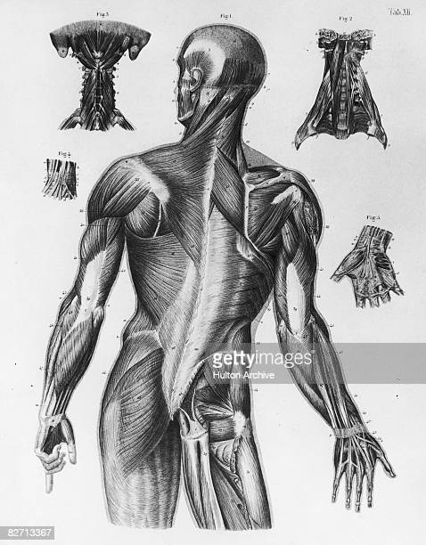 An anatomical diagram showing a rear view of the musculature of the upper human body circa 1930