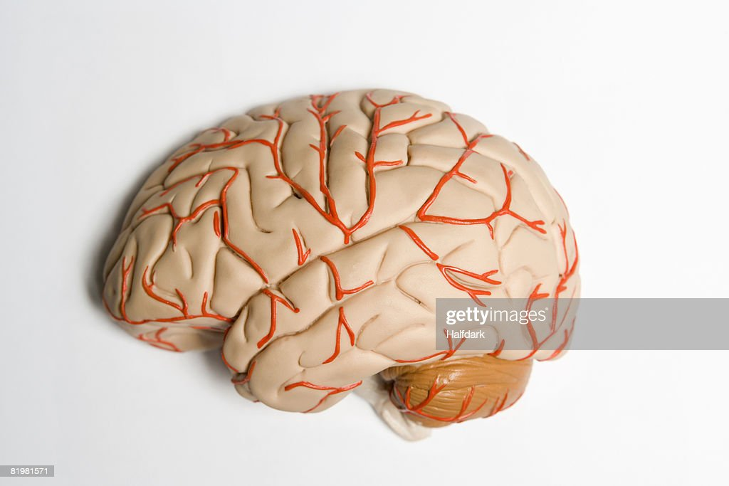 An Anatomical Model Of Human Brain Stock Photo Getty Images