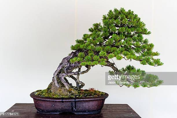 An ancient bonsai tree perfectly pruned and trained by bonsai masters over centuries.