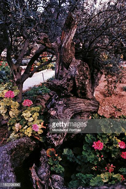 An ancient olive tree partially withered on the Mount of Olives above Jerusalem probably among those already planted at the time of Jesus Christ...