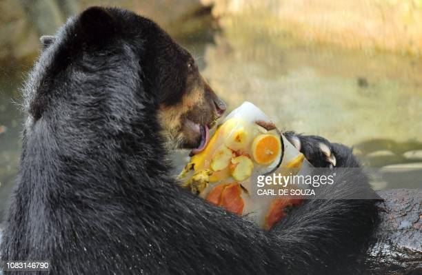 An Andean bear licks a fruitflavoured ice block at the zoo in Rio de Janeiro Brazil on January 15 2019 as the temperature is set to hit 40 degrees...