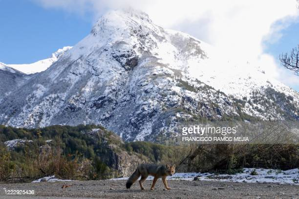 An Andean fox walks in the route near Bariloche, Rio Negro, Argentina, on June 24, 2020 amid the lockdown imposed by the government against the...