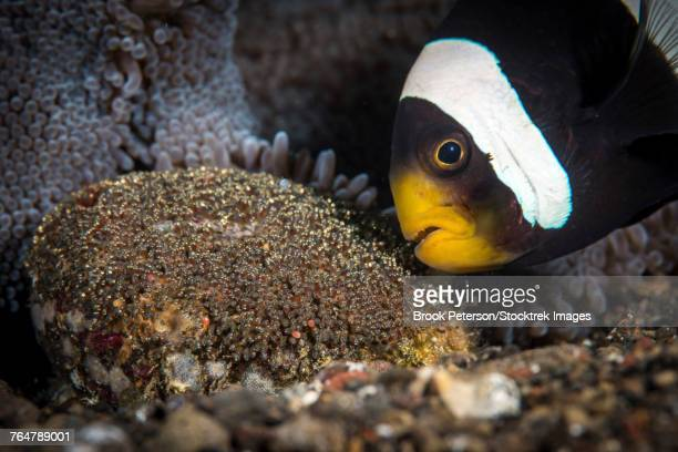 An anemone fish aerates its eggs by blowing on them with its mouth, Tulamben, Bali, Indonesia.