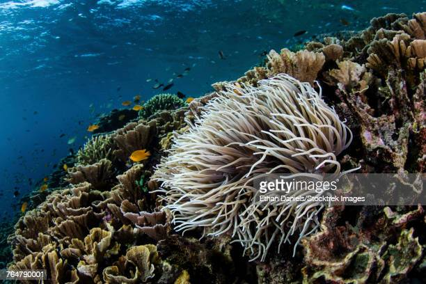 An anemone grows on a fragile reef in Komodo National Park, Indonesia.
