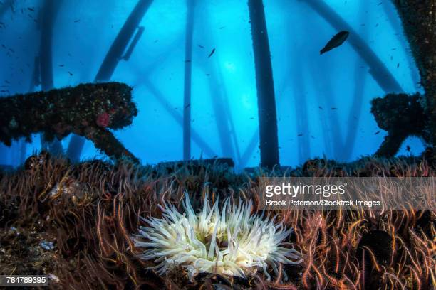 An anemone sits in a bed of brittle stars on the girders of an oil rig in Southern California.