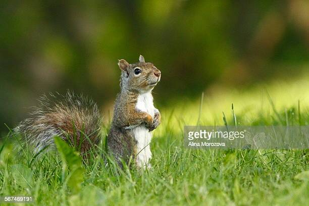 an angel - eastern gray squirrel stock photos and pictures