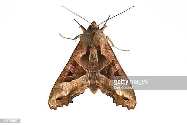 An Angle Shades moth is pictured on March 26 2014 in London England in London England This weekend saw the annual Moth Night where moth recorders...
