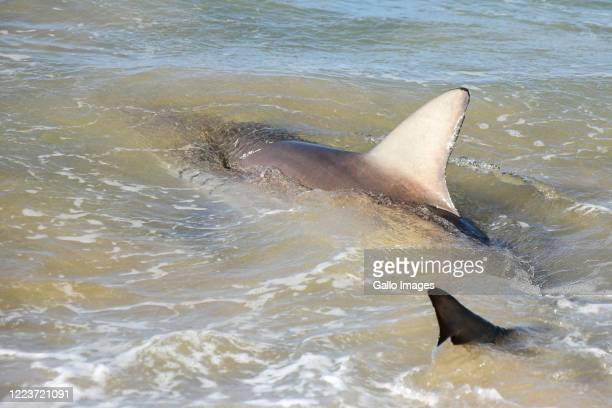 An angler catches and releases a bronze shark during the Sardine run in Scottsburg on June 28 2020 in Durban South Africa The Sardine Run Expedition...