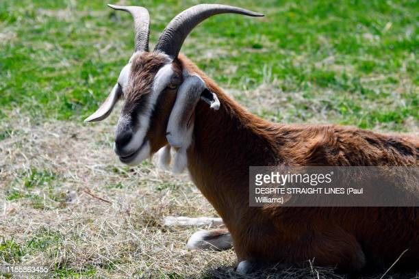 an anglo-nubian goat - river medway stock photos and pictures