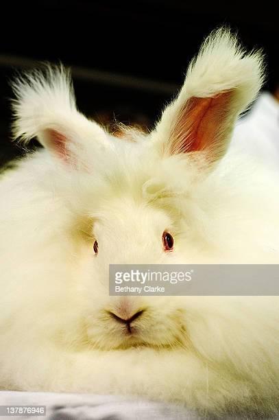 HARROGATE ENGLAND JANUARY An Angora rabbit waits to be judged on January 28 2012 in Harrogate England Approximately 3000 animals attend the annual...
